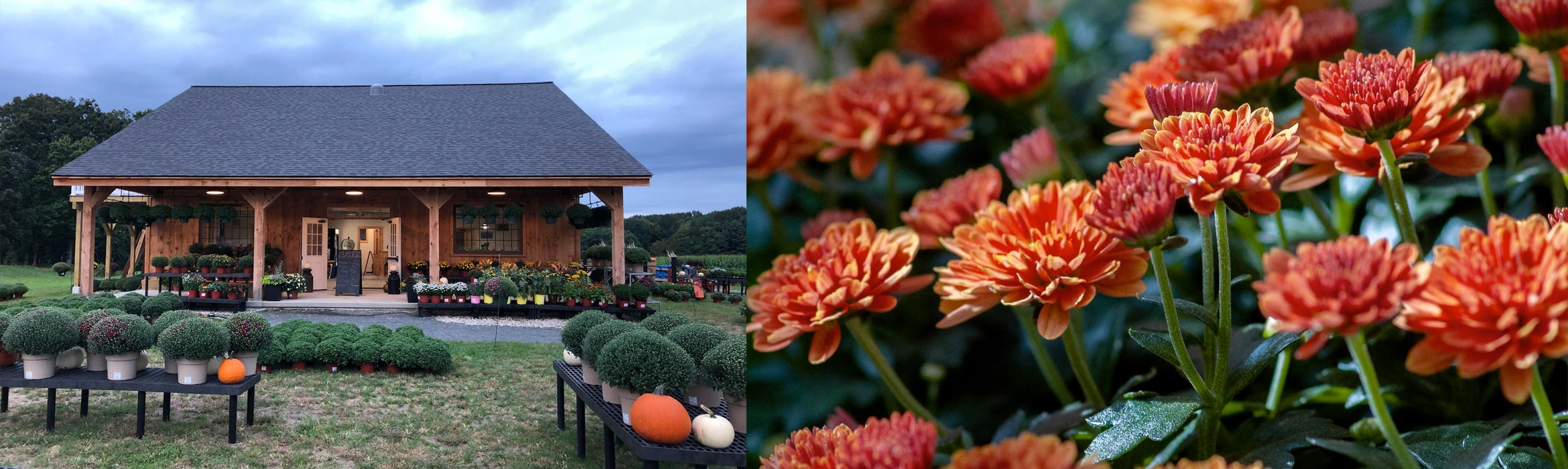 Pumpkins and chrysanthemums at the farm stand in autumn